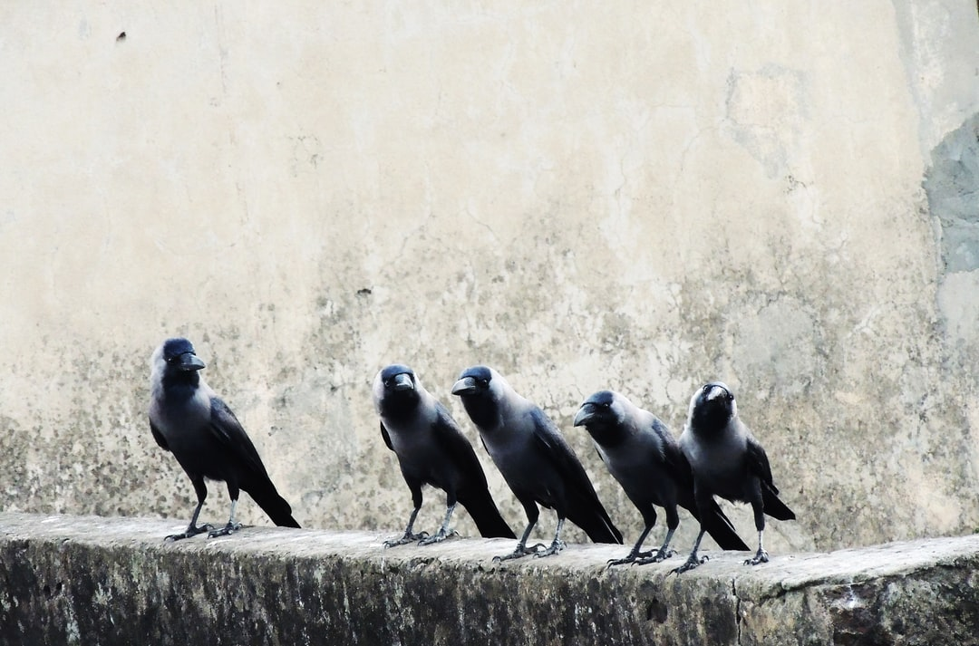 Encounters with Crows
