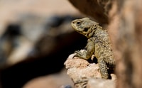 brown gecko perched on stone