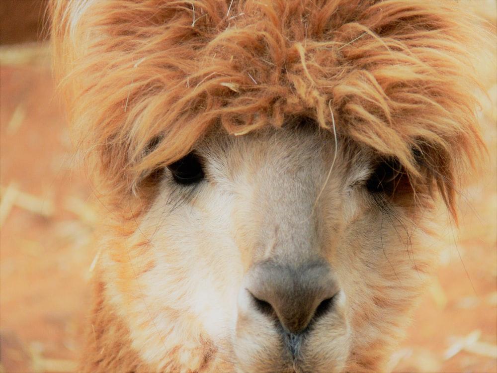 close-up photo of brown llama