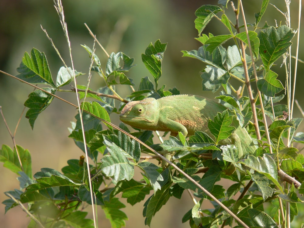 green chameleon on green leaf