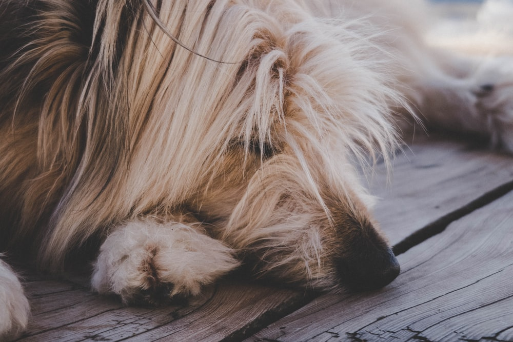 closeup photography of tan dog lying on floor