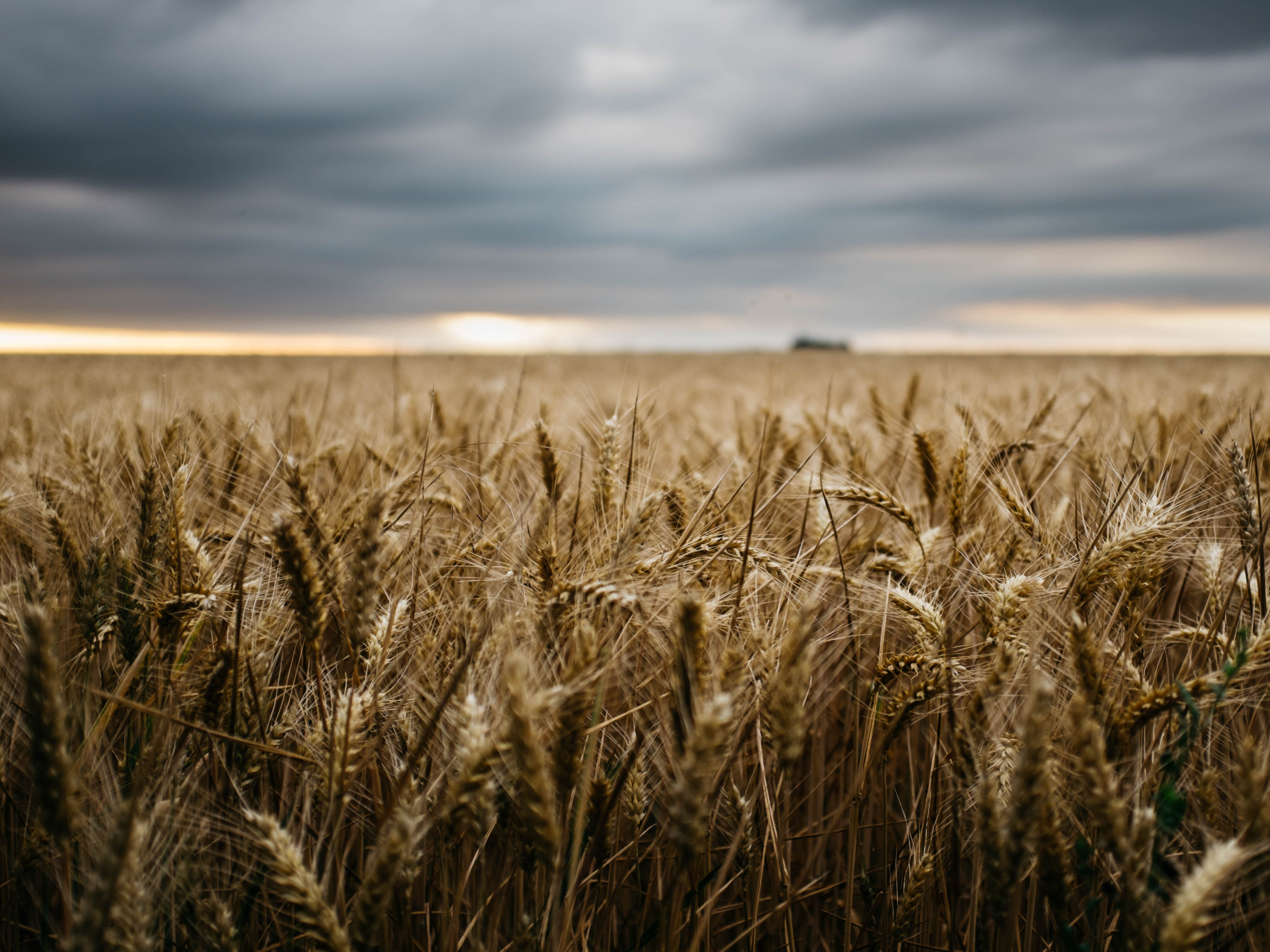 bokeh photography of a wheat field