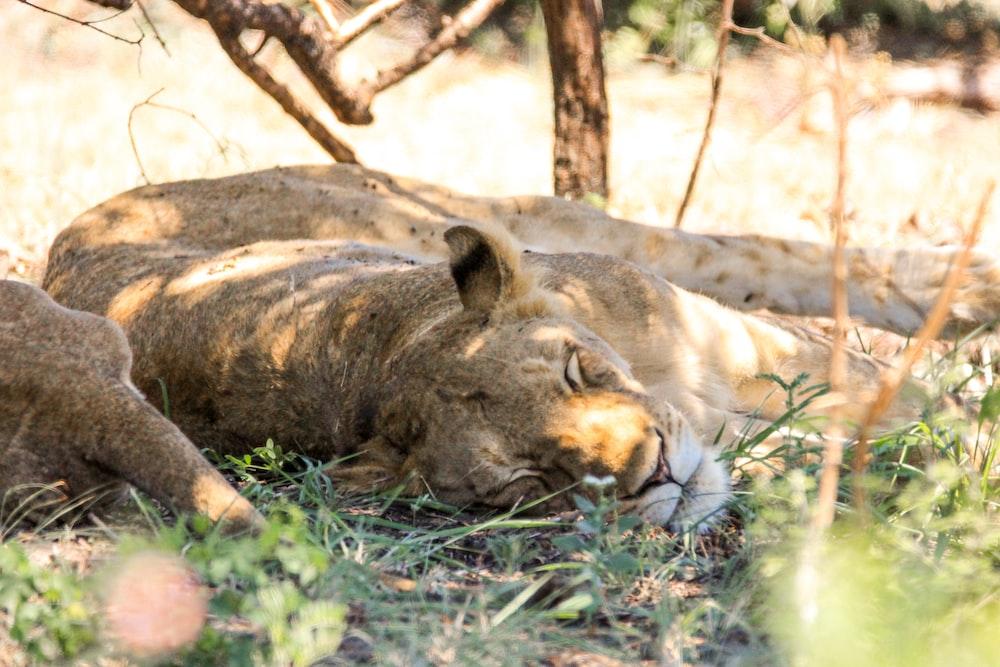 lioness lying on groun