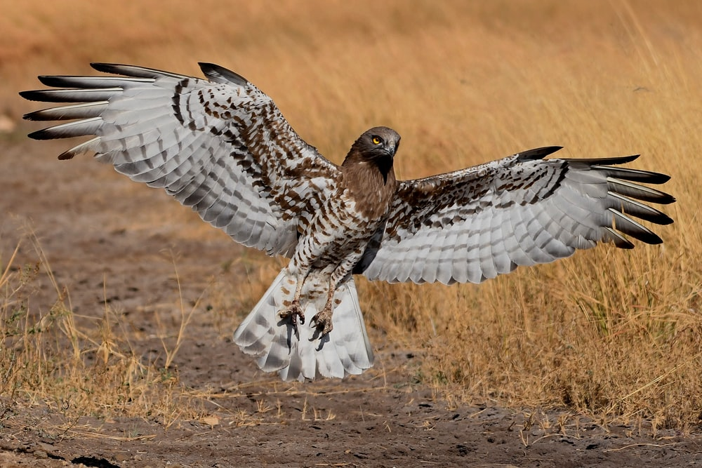 brown and beige falcon spreading wings near ground