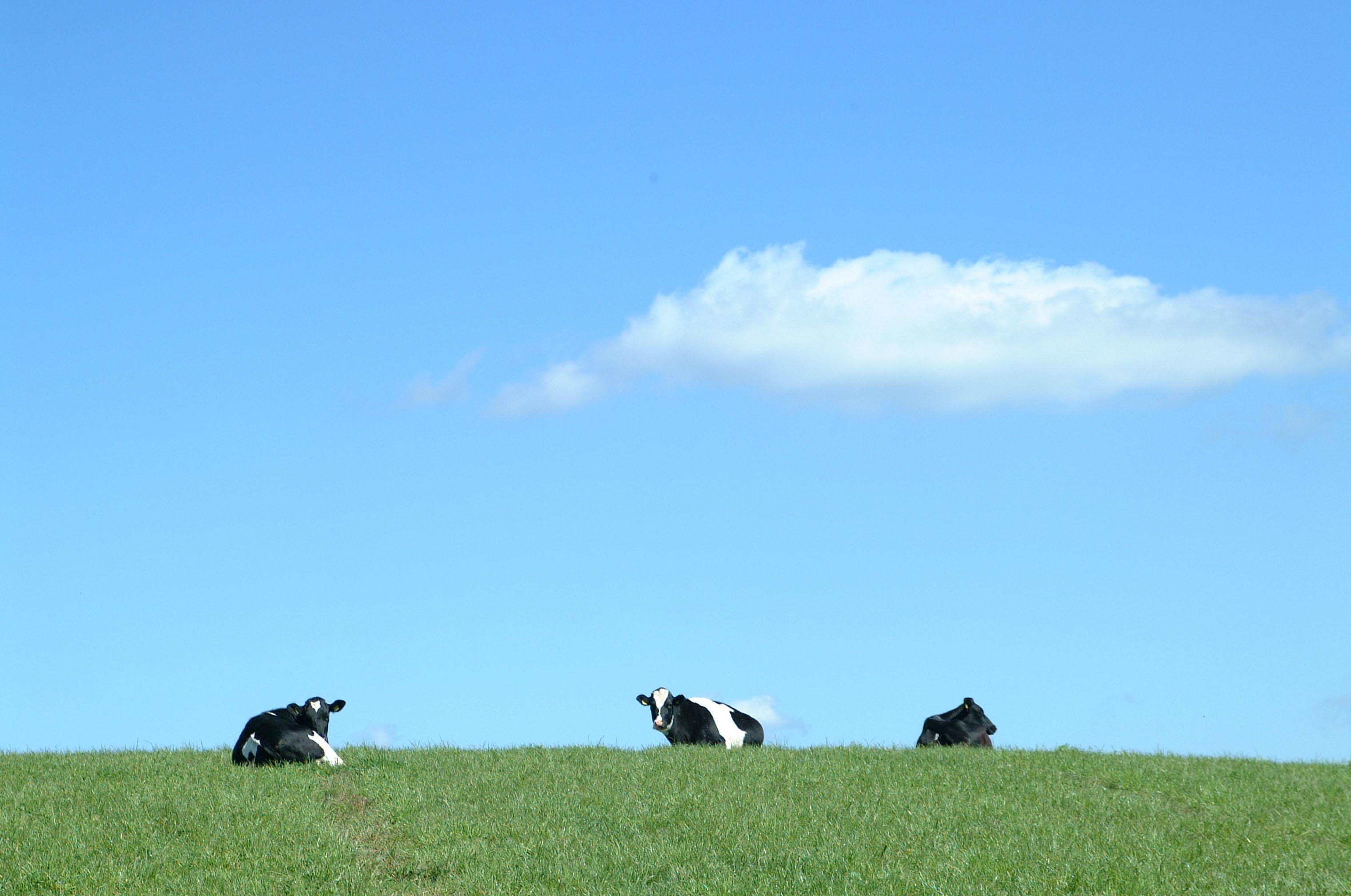 black and white cows on green grass