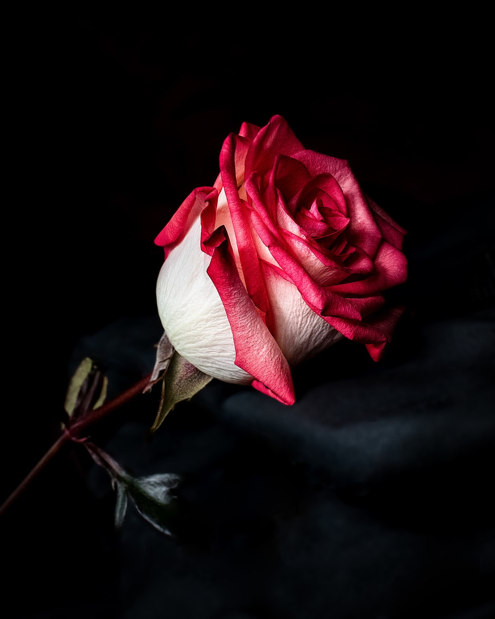 focus photography of red and white rose flower