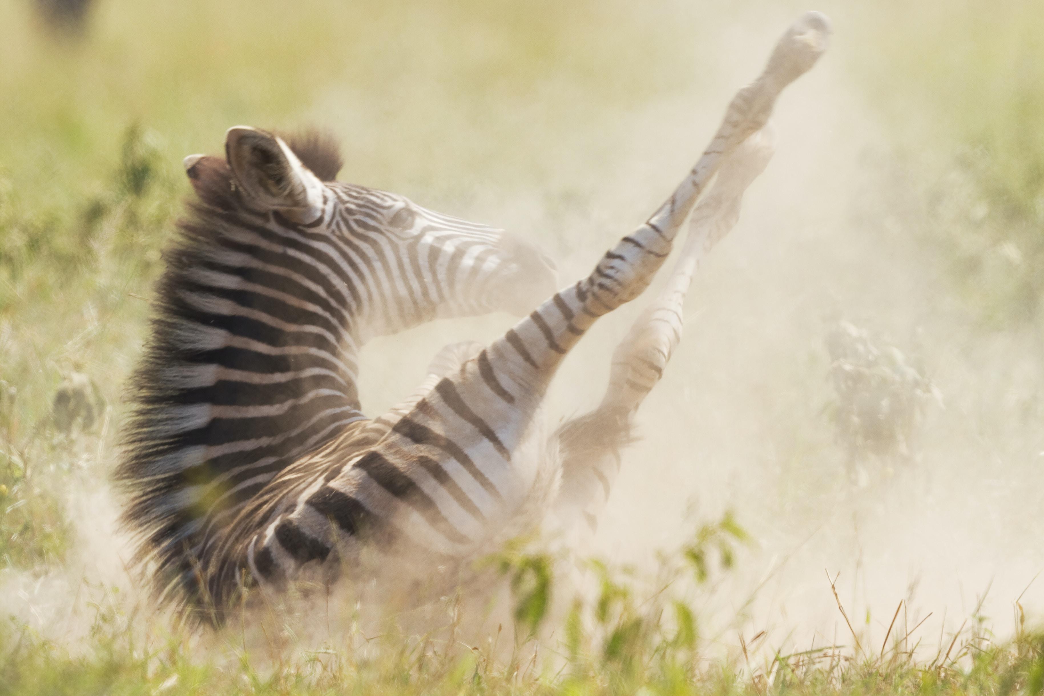 zebra laying on grassy field