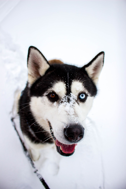 white and black husky closeup photography