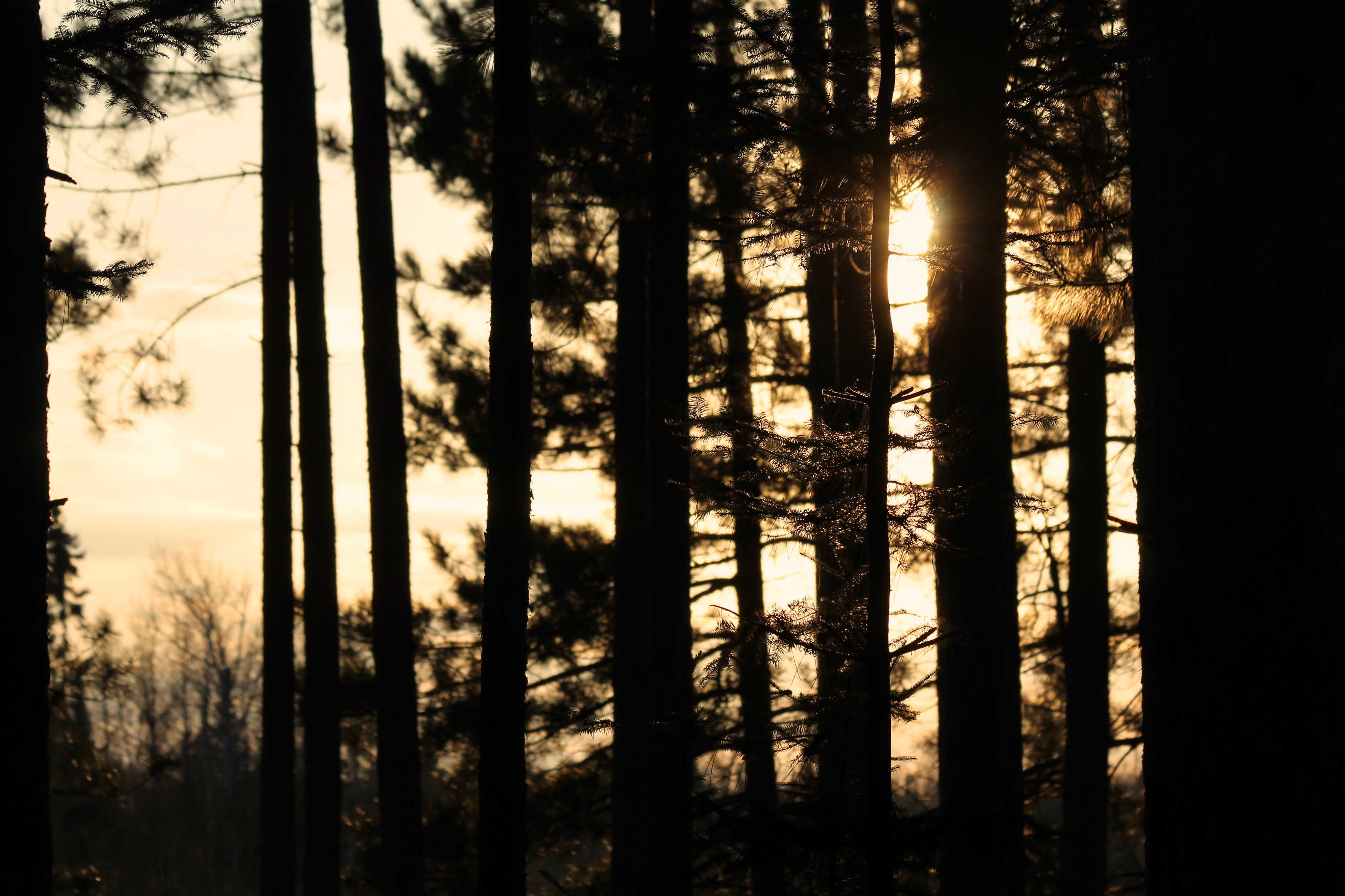 pine trees during golden hour