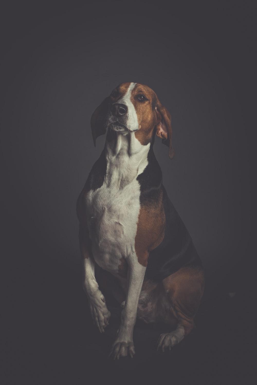 beagle dog lying on floor