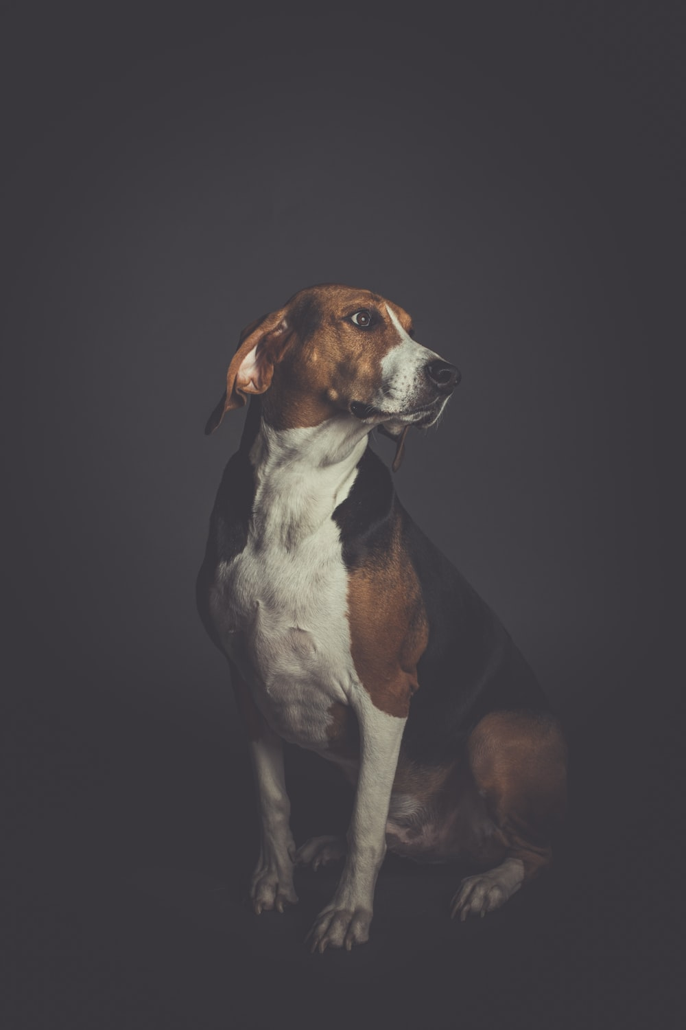 short-coated white and tan dog sitting on dark room