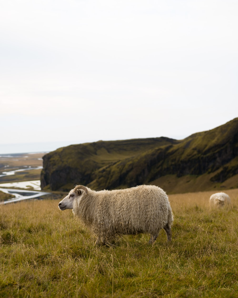 lamb standing on grass field near mountain range