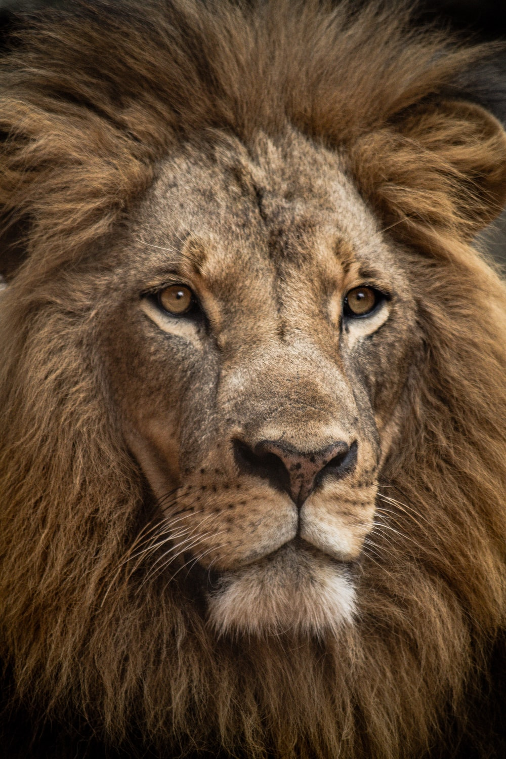 lion in close up shot