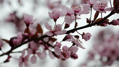Pink blossoms on a tree in springtime