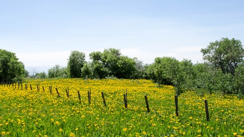 A field of yellow flowers and small trees.