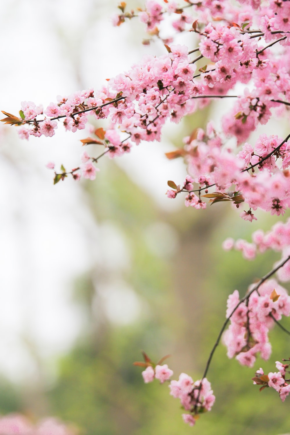 selective focus photography of pink sakura