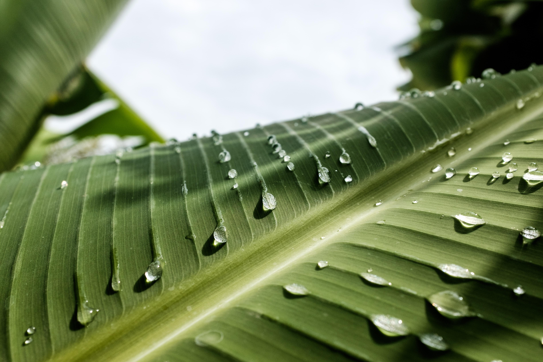 water dews on banana leaf