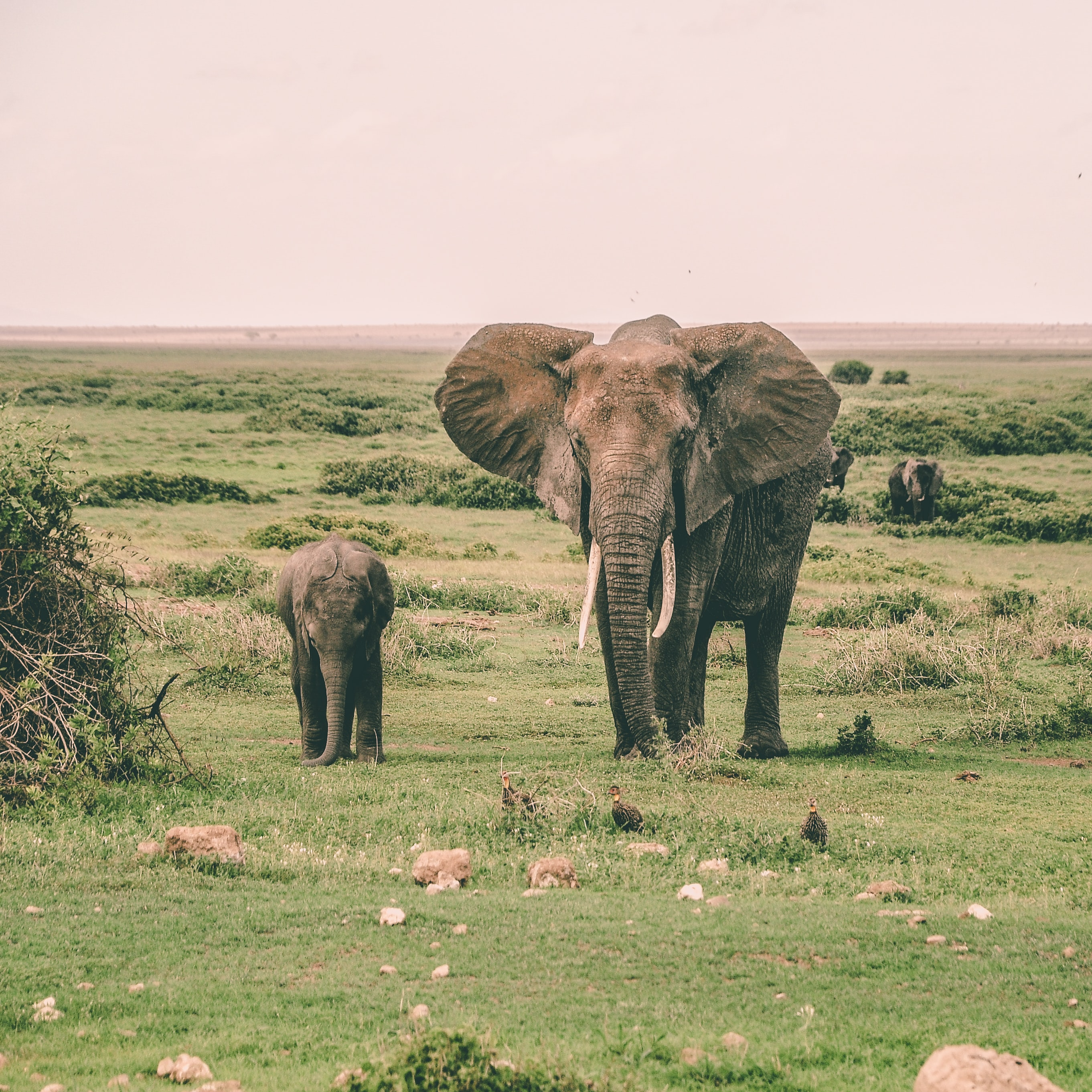 two gray elephants walking surrounded by grass during daytime