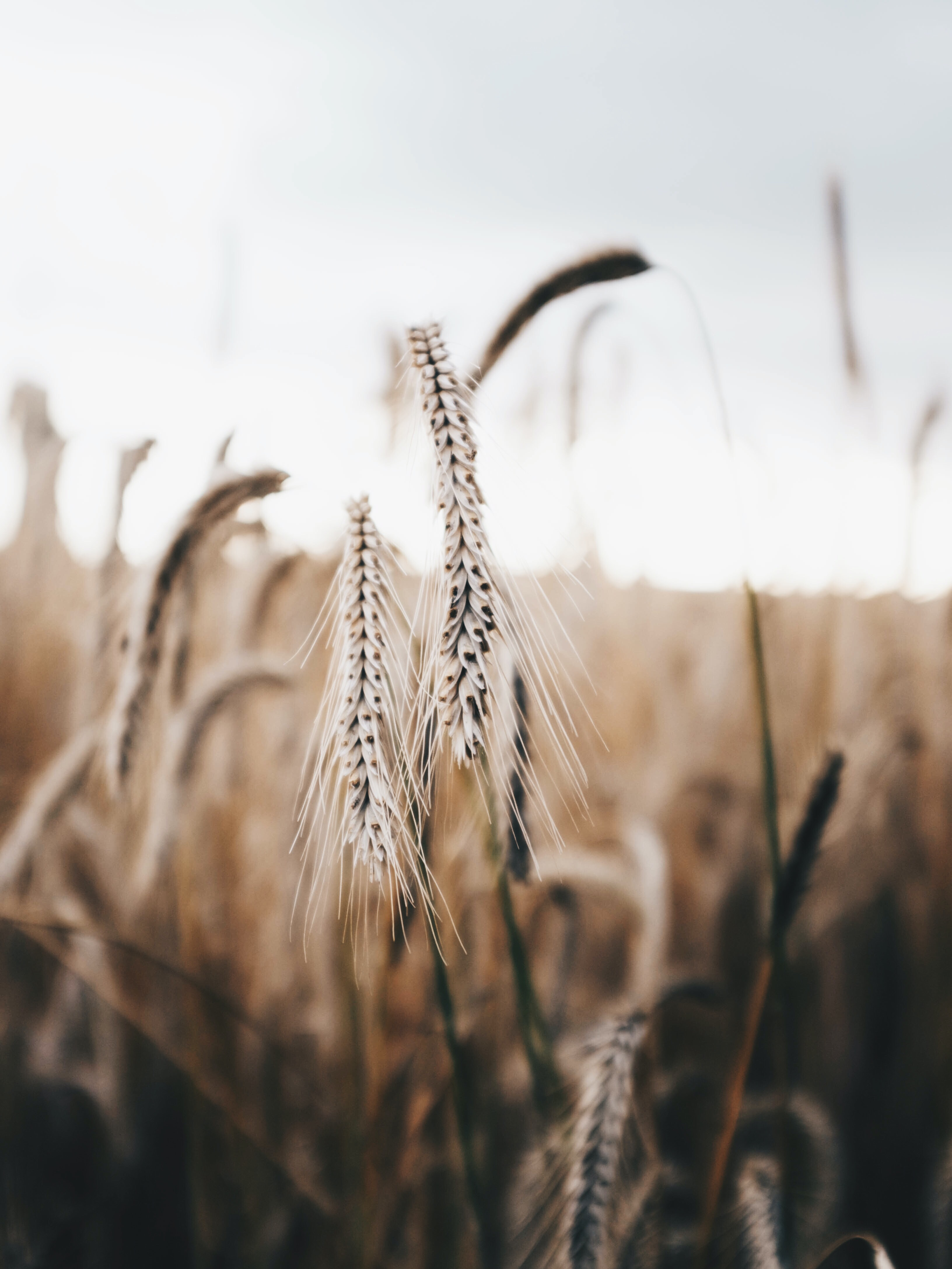 macro photography of a wheat