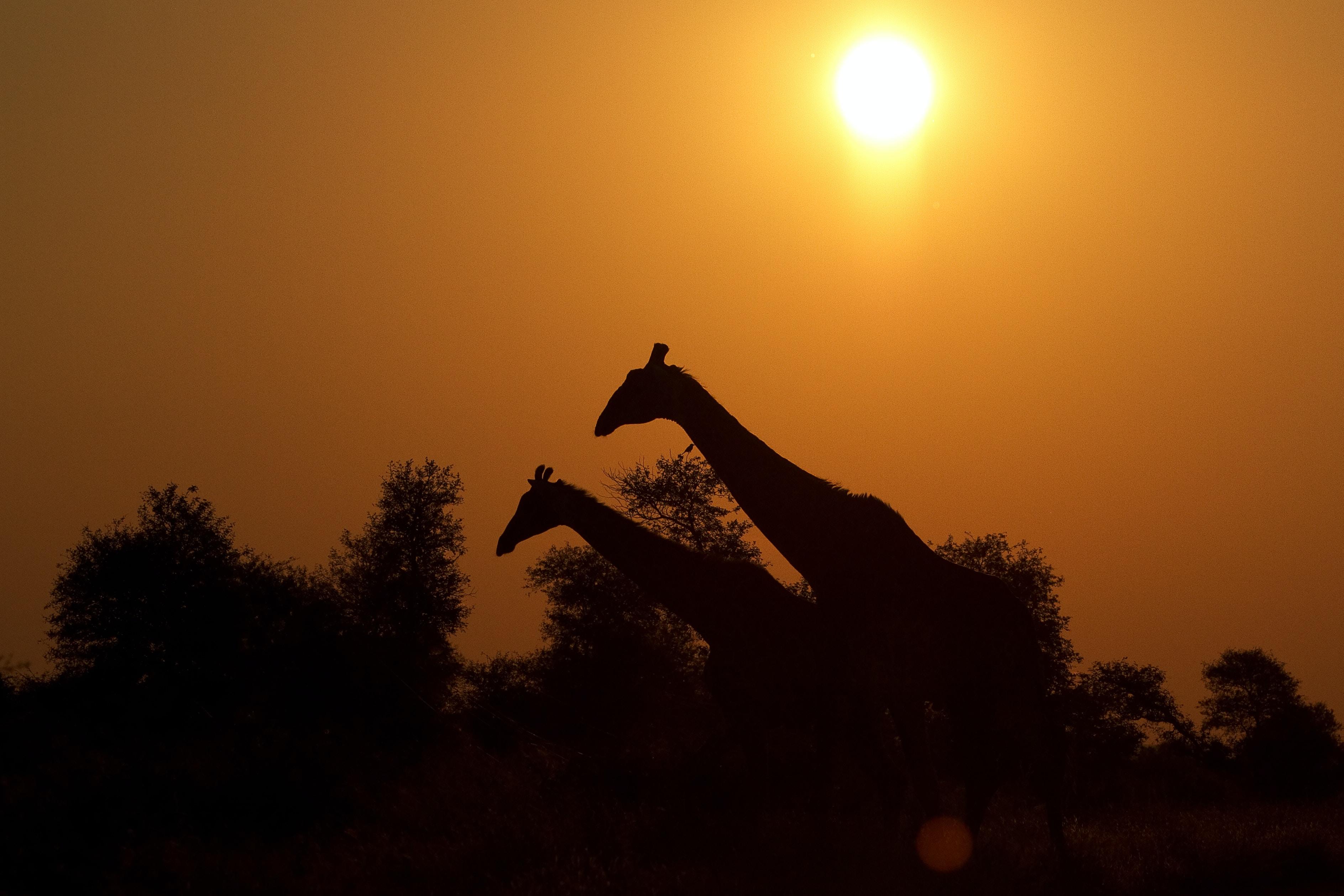 two giraffe on farm