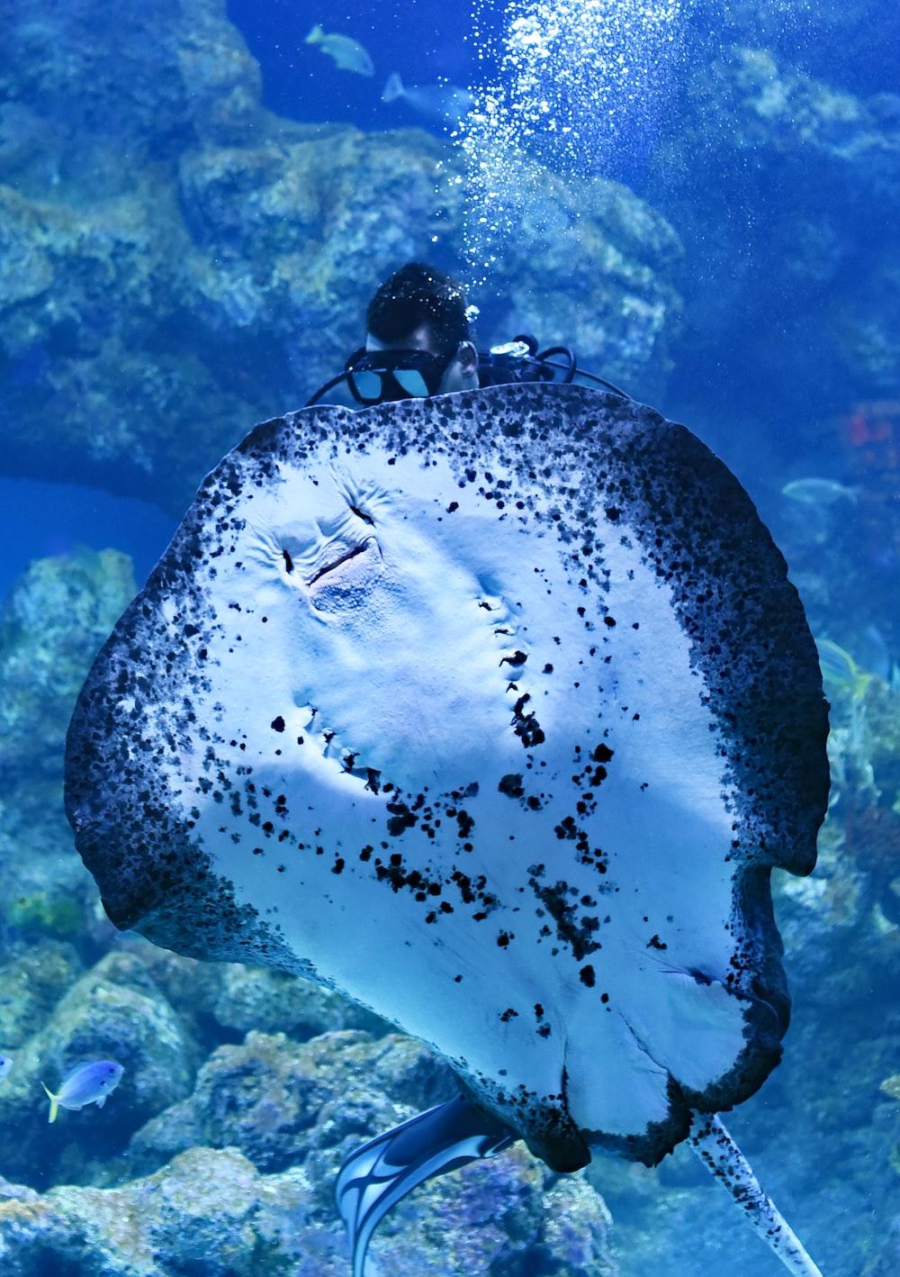 person swimming on top of Manta Ray fish