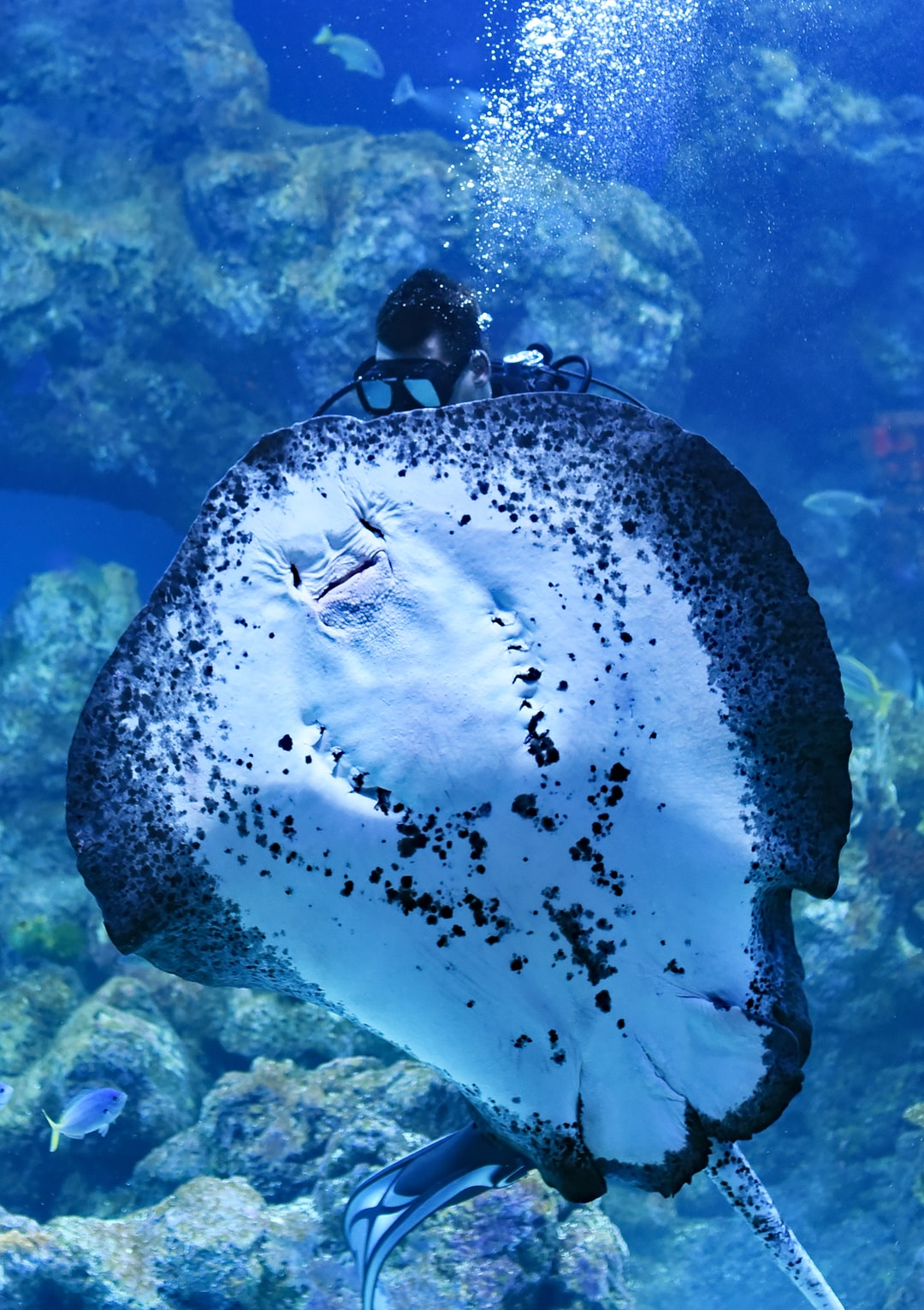 Enormous stingrays being hand fed by two scuba divers at the Cairns aquarium.