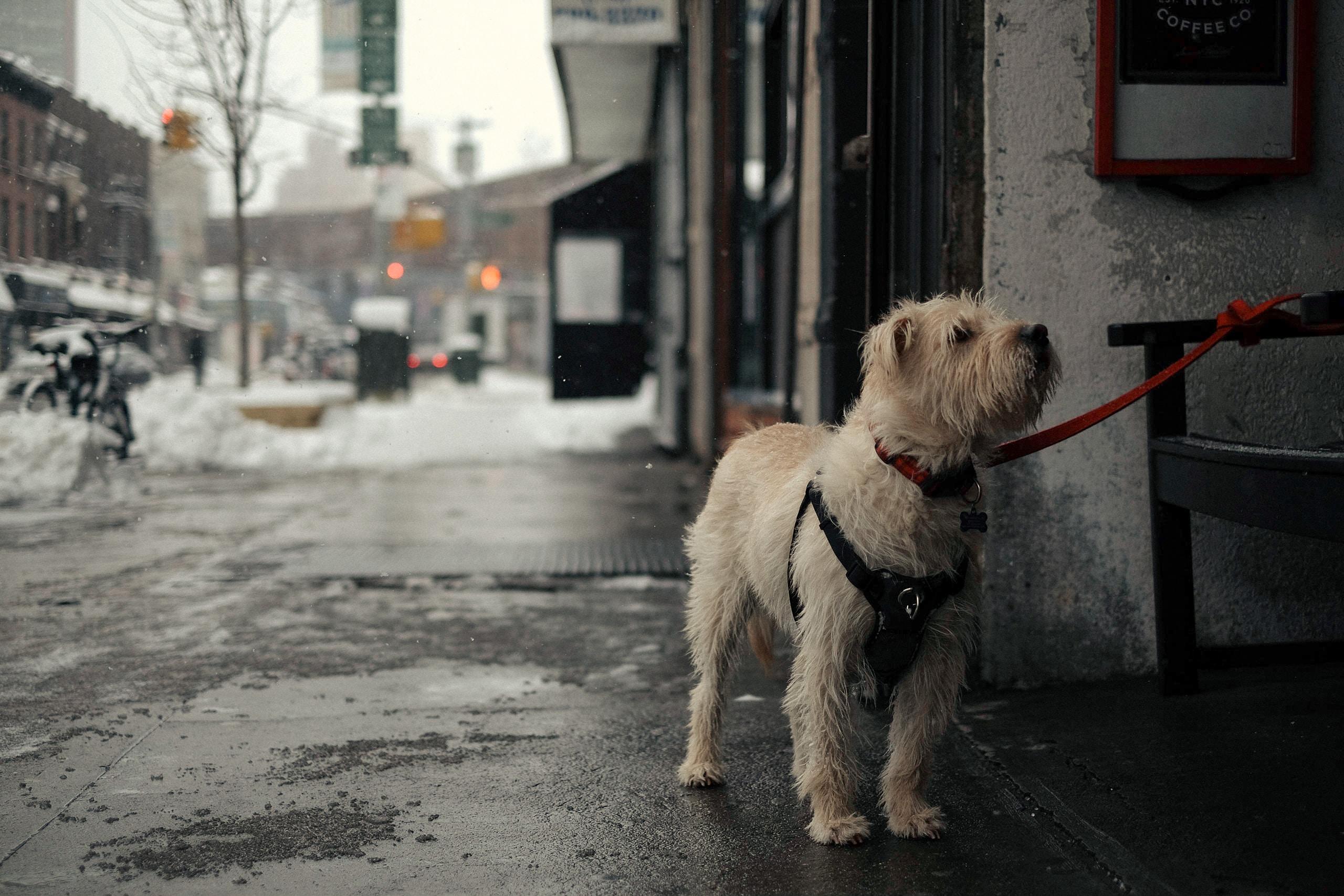 long-coated beige dog outside house