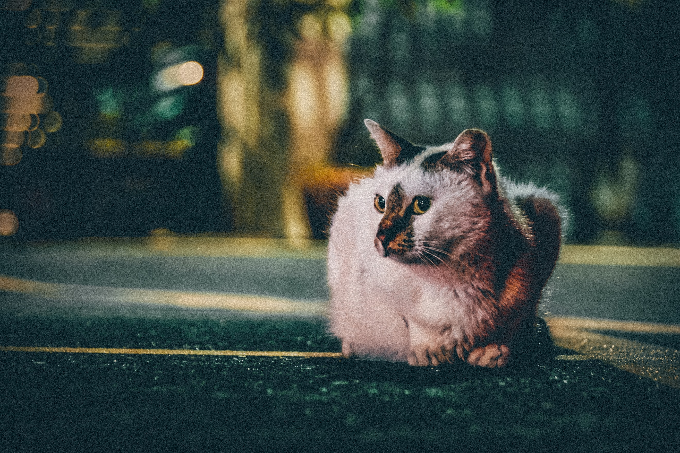 gray cat laying on road
