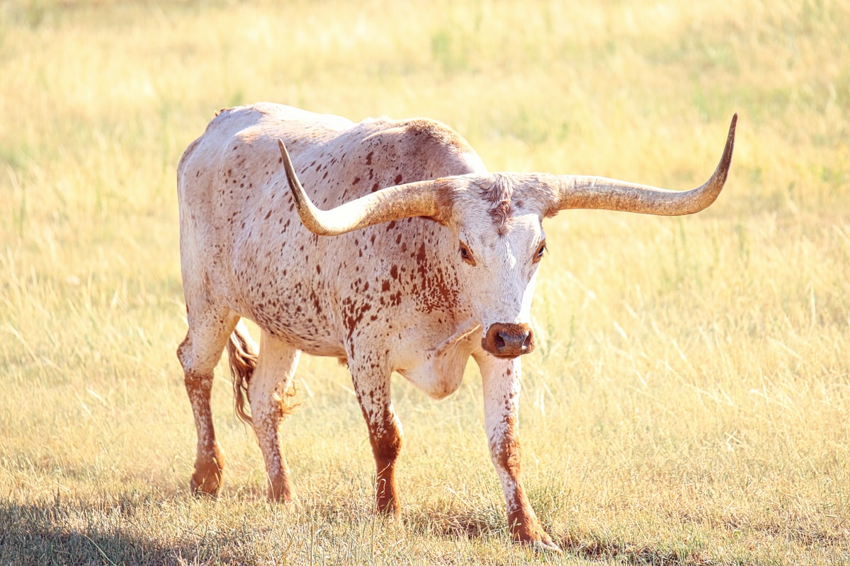 Texas Longhorn staring down the camera ready to charge.