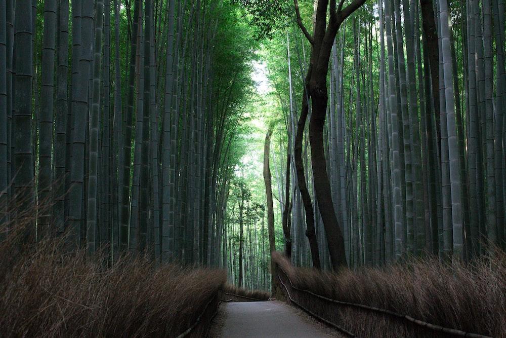 empty pathway between bamboo trees