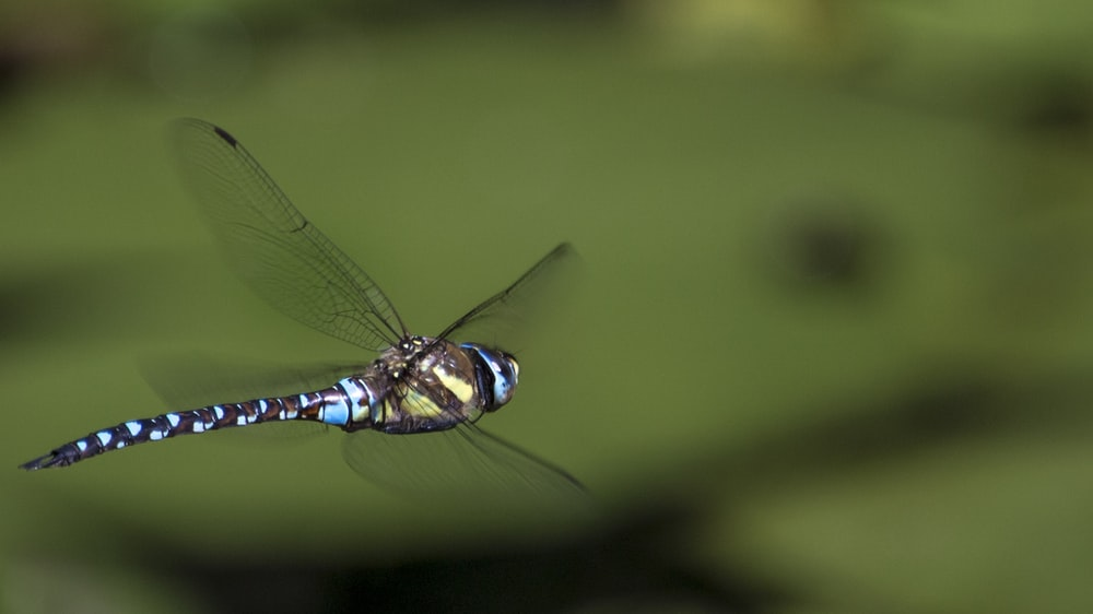 macro shot photography of blue and brown dragonfly