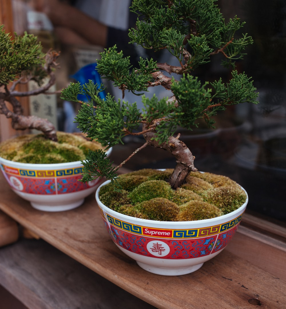 two assorted bonsai
