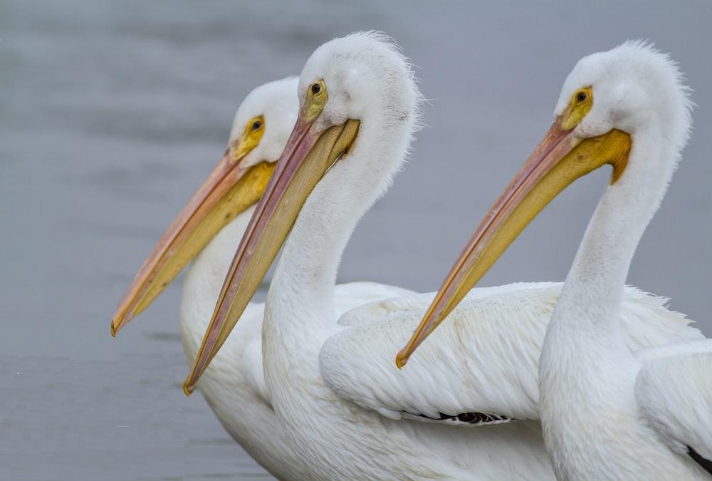 three white birds swimming on body of water