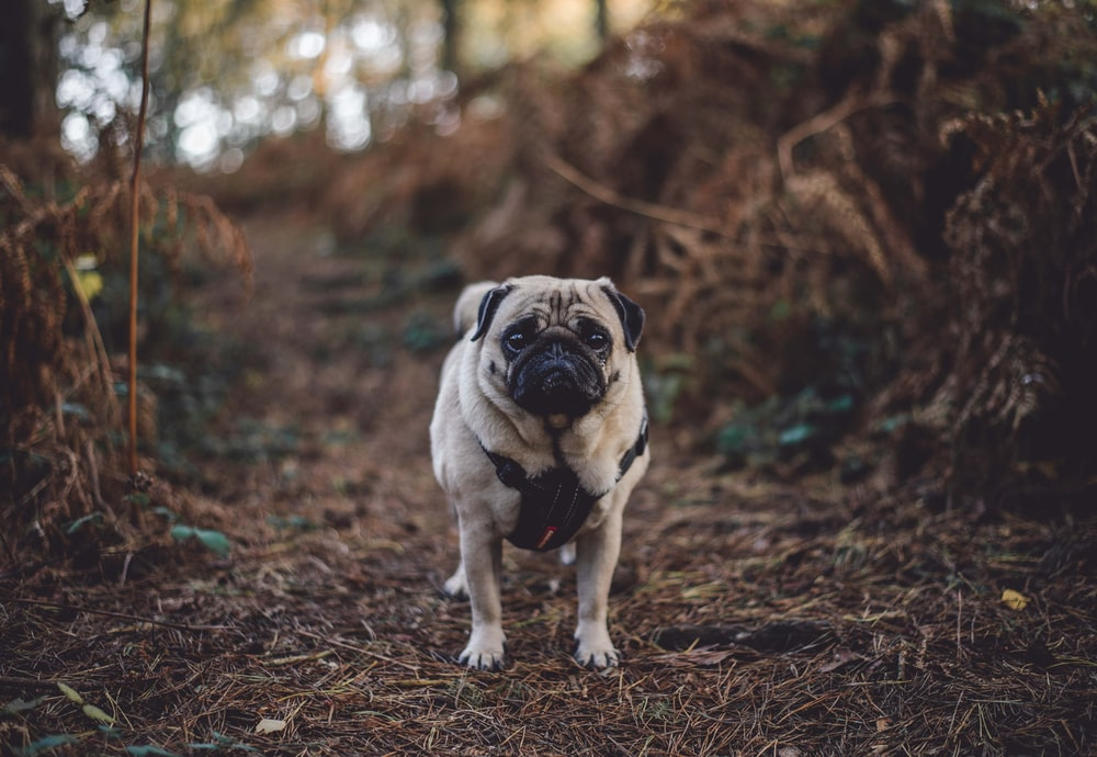 fawn pug standing between of bushes