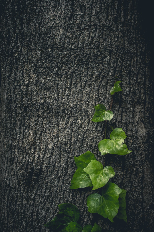 green vines on tree bark