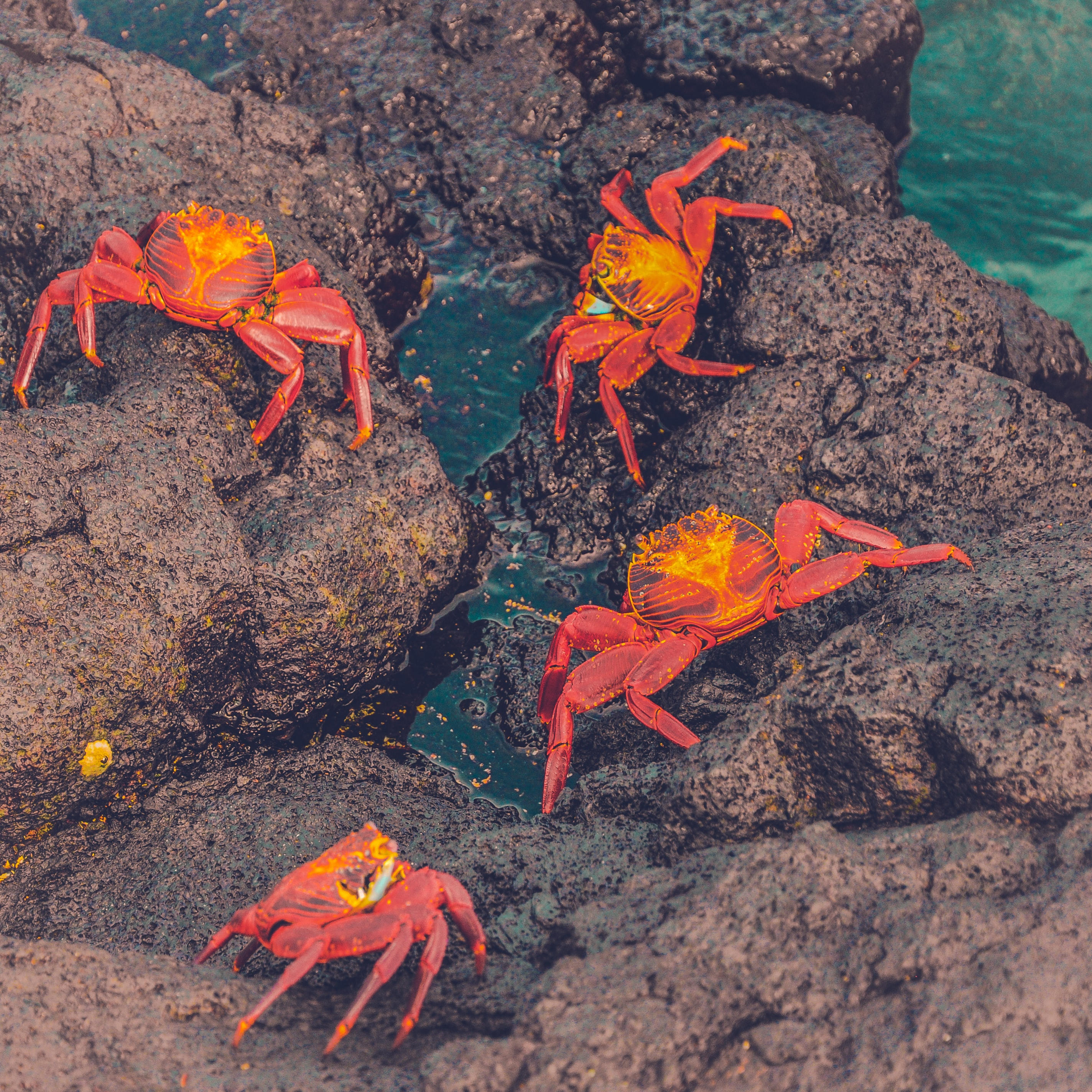 four crabs on brown rock