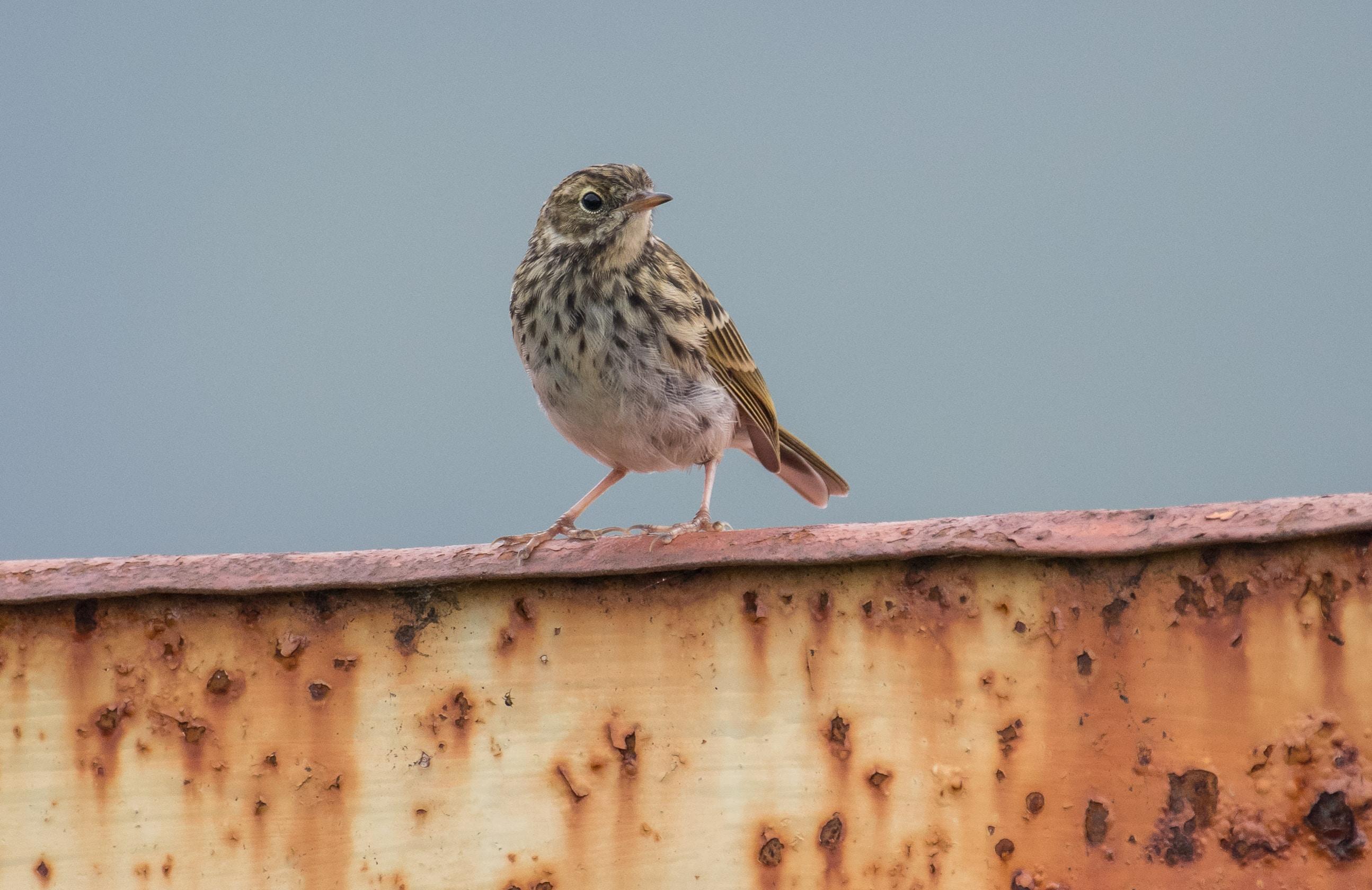brown bird perching on brown metal