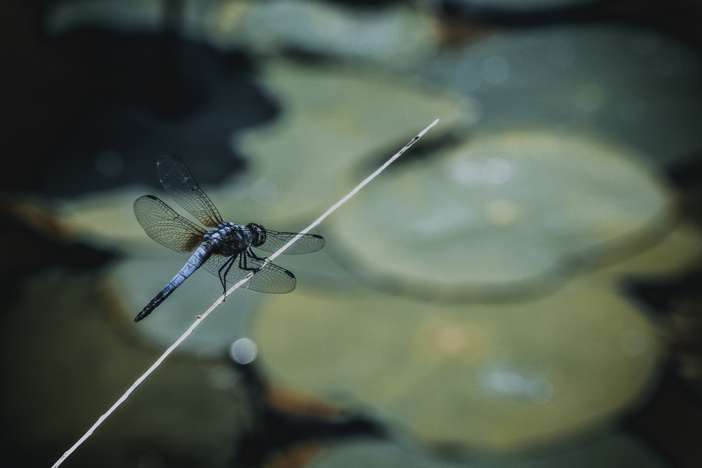 blue dragonfly on stick