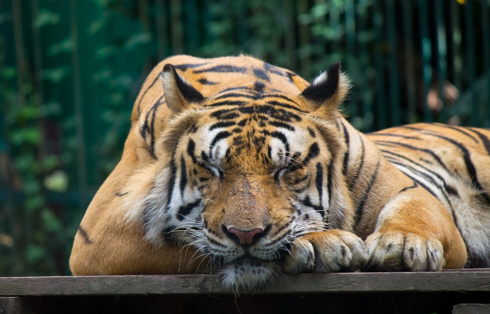 tiger on brown wooden board