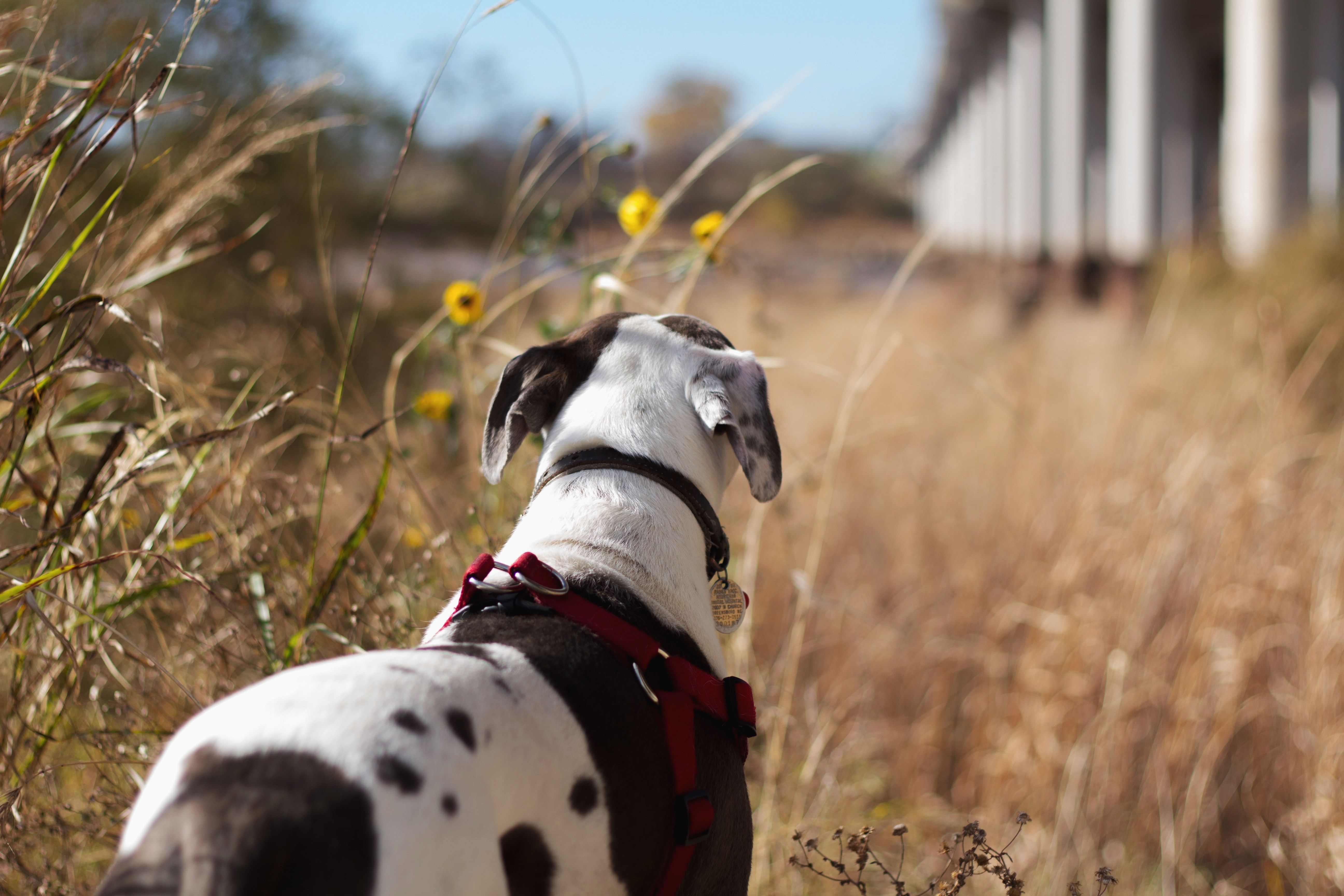 short-coated black and white dog near brown grass field