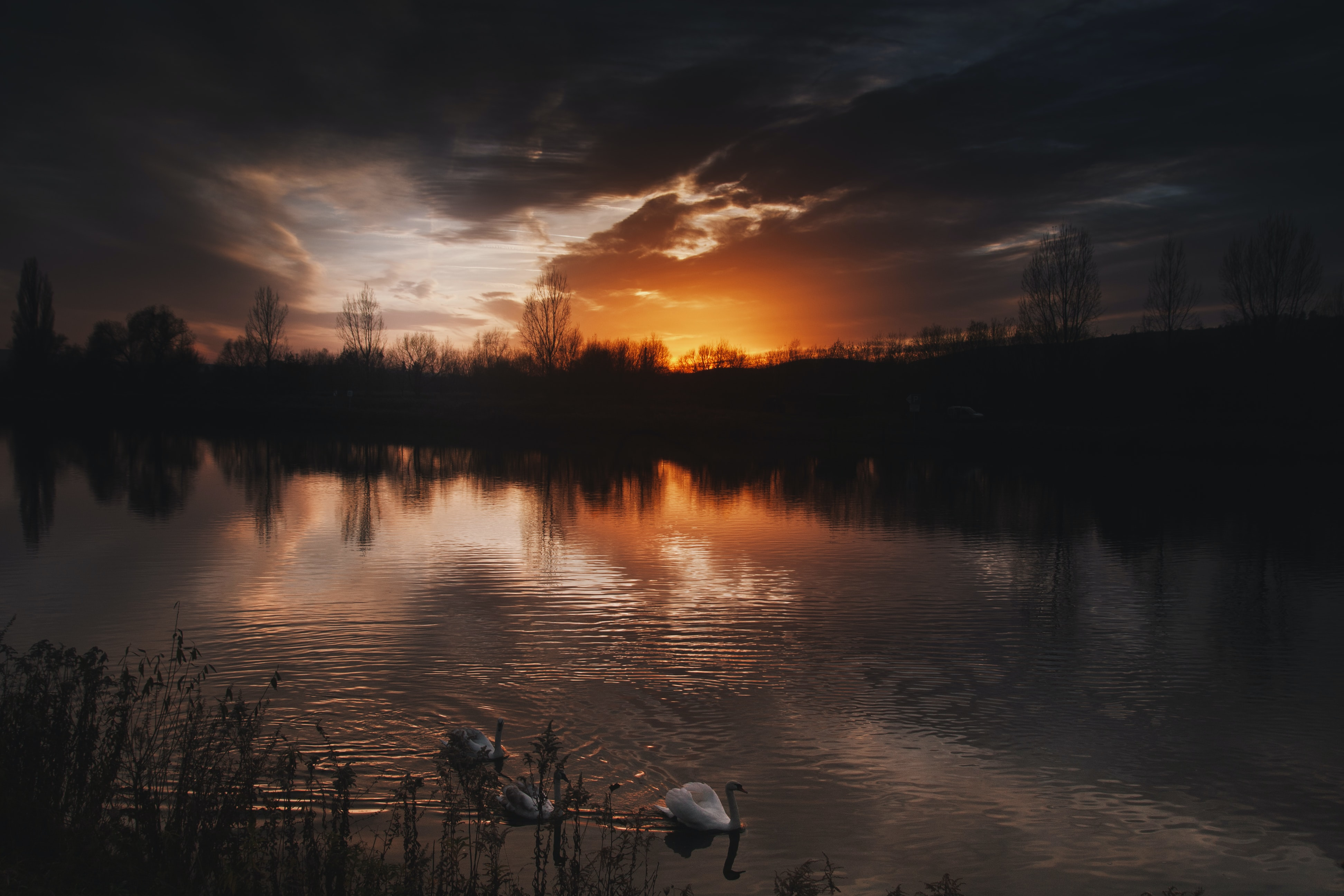 three ducks on body of water with silhouette of trees background during sunset