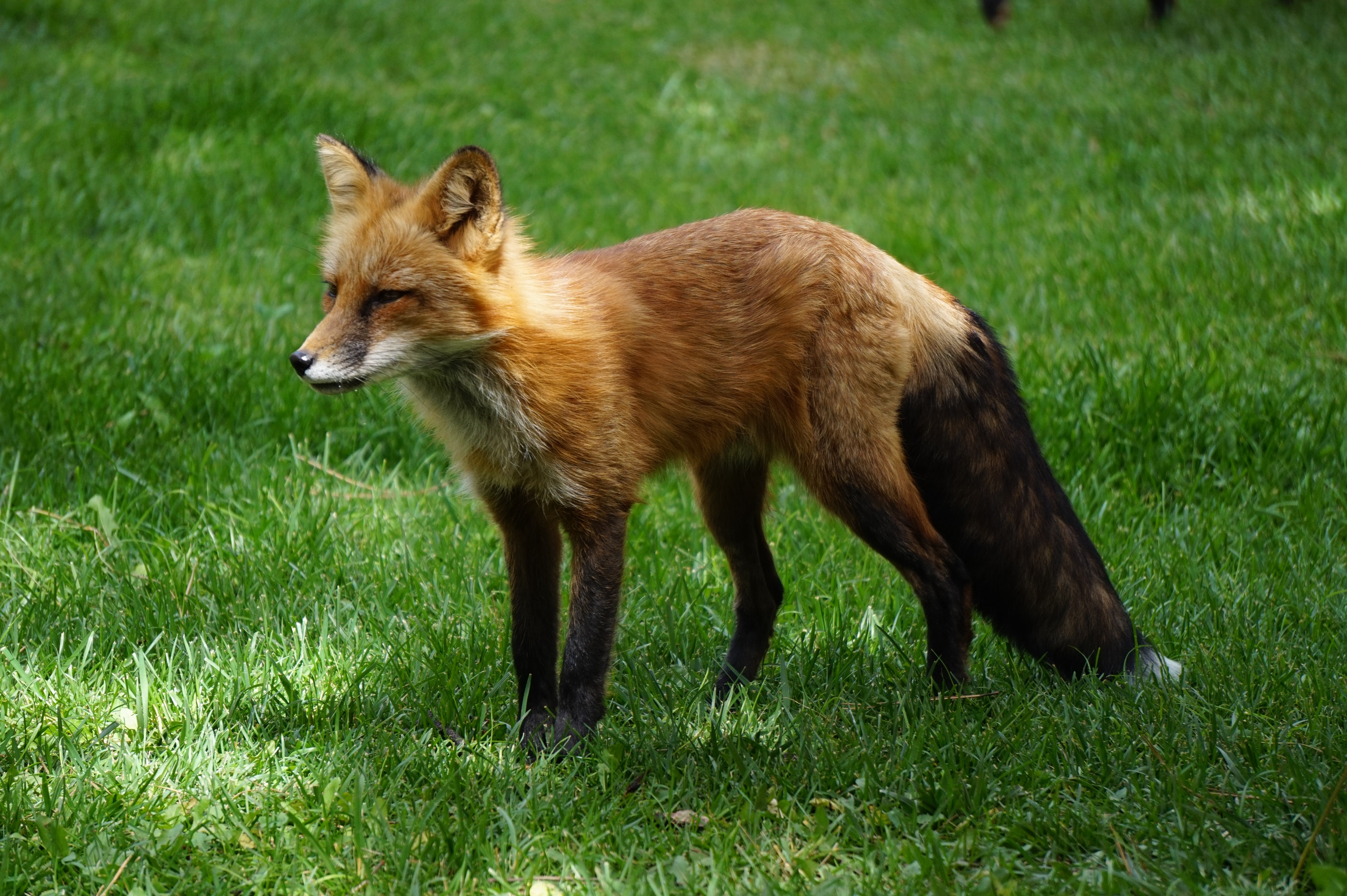 red and black fox on green grass