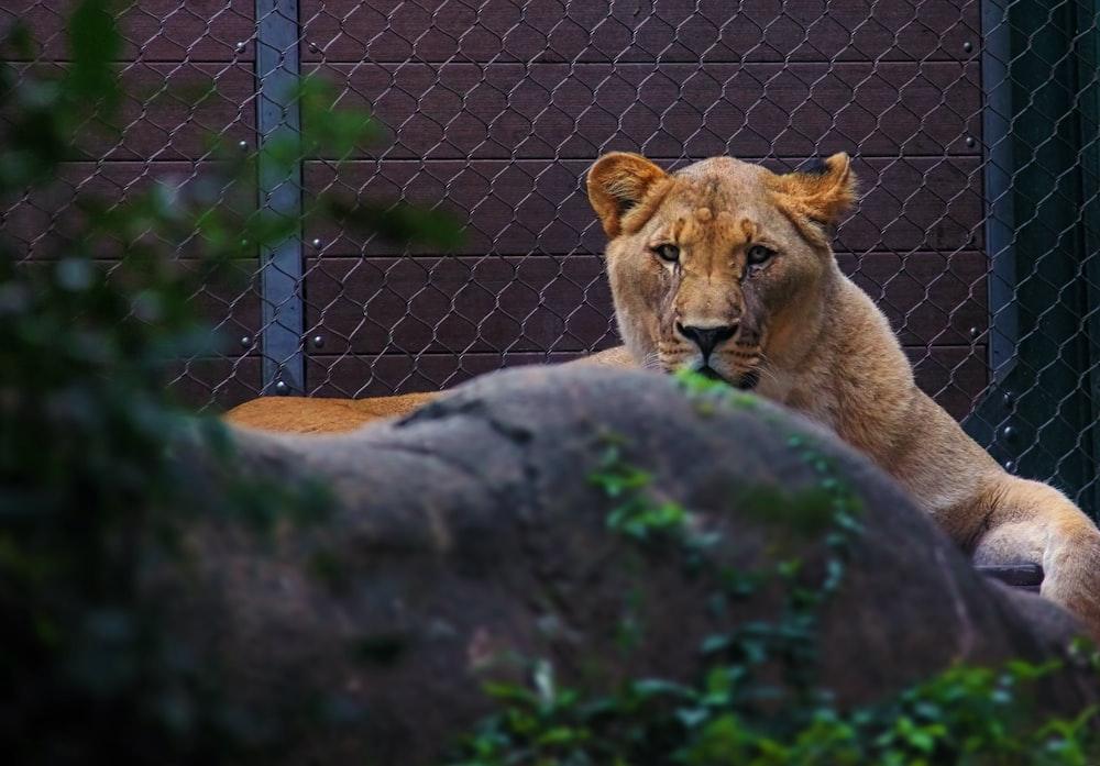 tiger inside cage