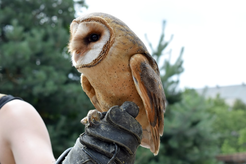 brown and white barn owl perched on person wearing leather gauntlet