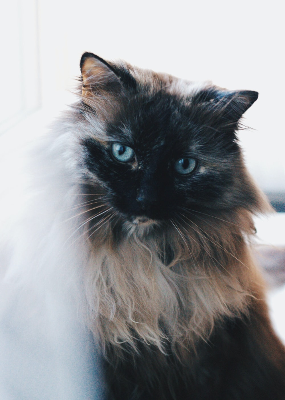 Siamese cat standing inside room