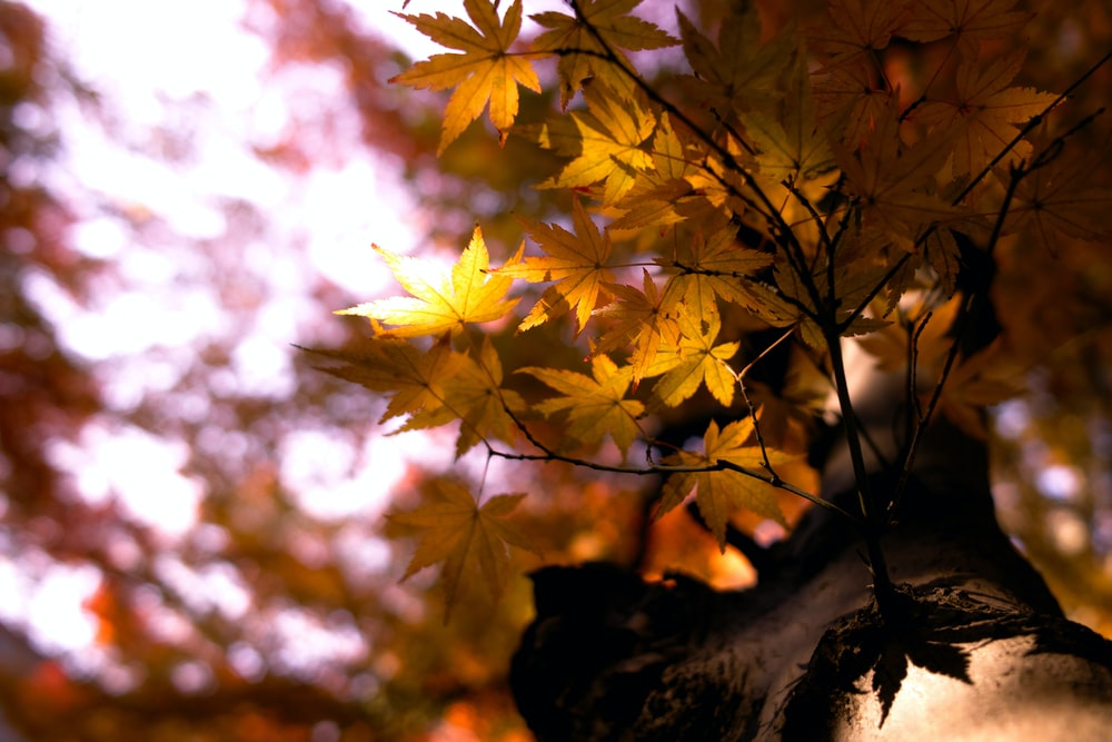 selective focus photography of brown maple leaf tree