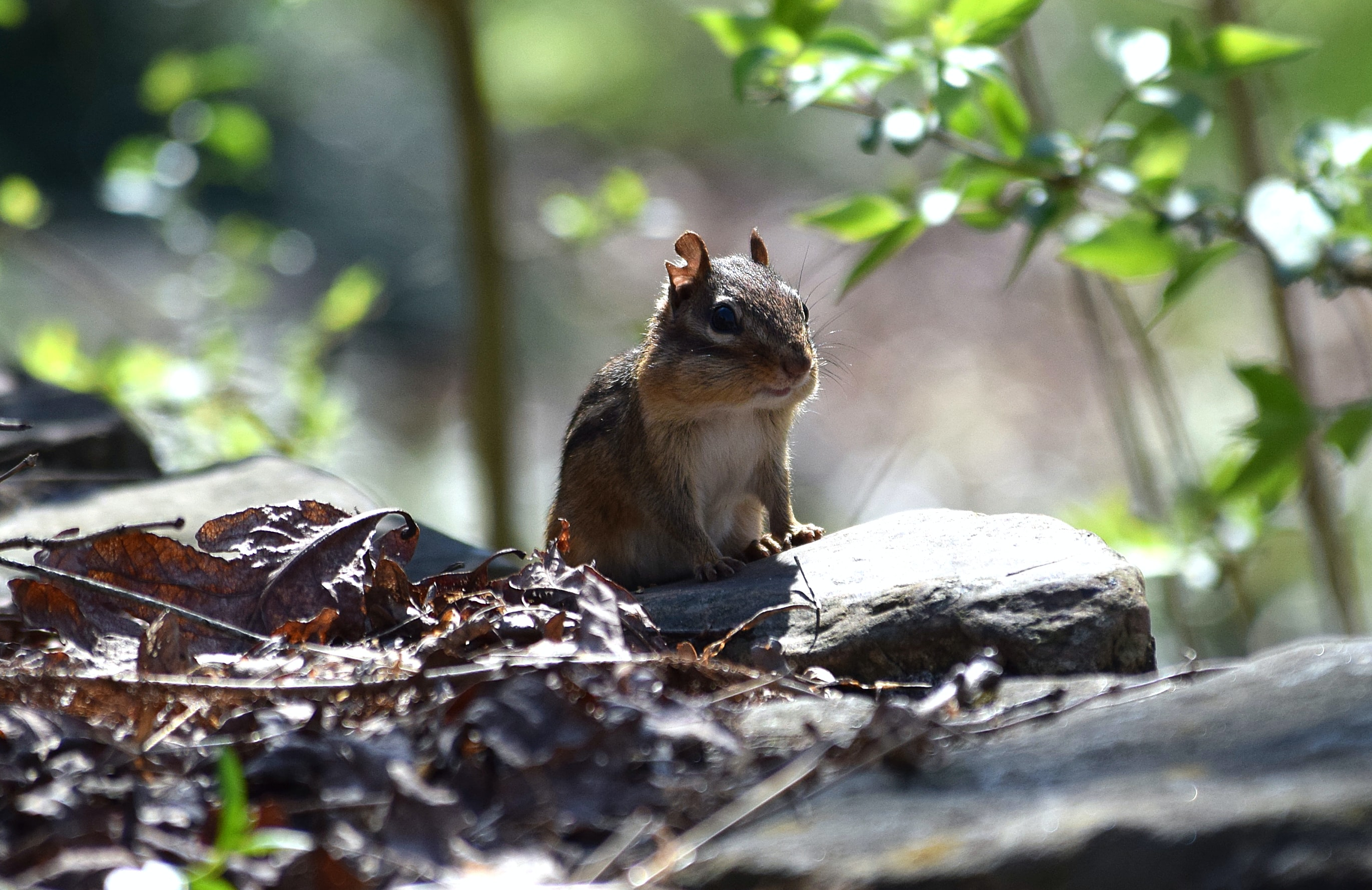 closeup photo of brown squirrel
