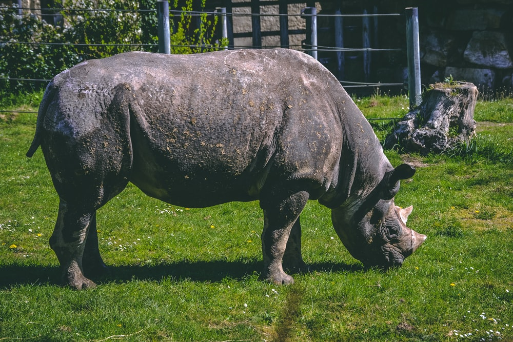 gray rhinoceros eating grass during daytime