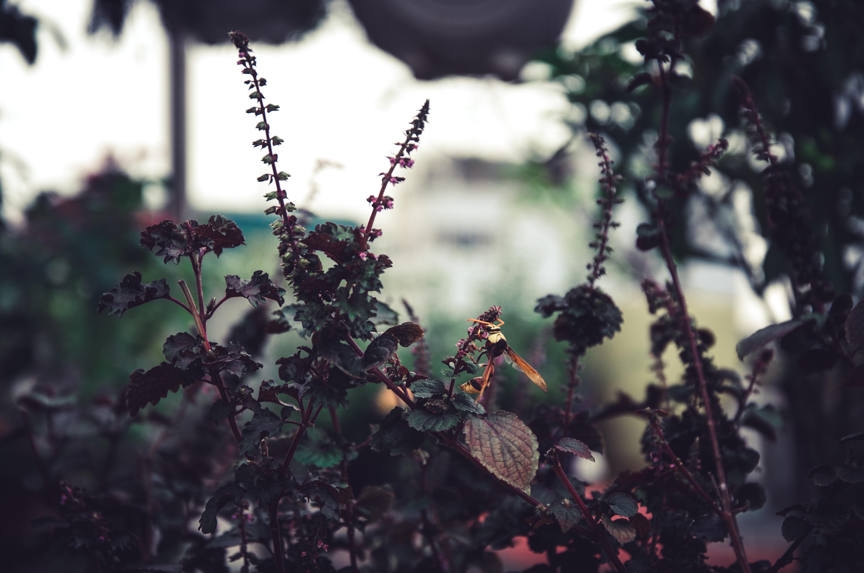 brown leafed pkant