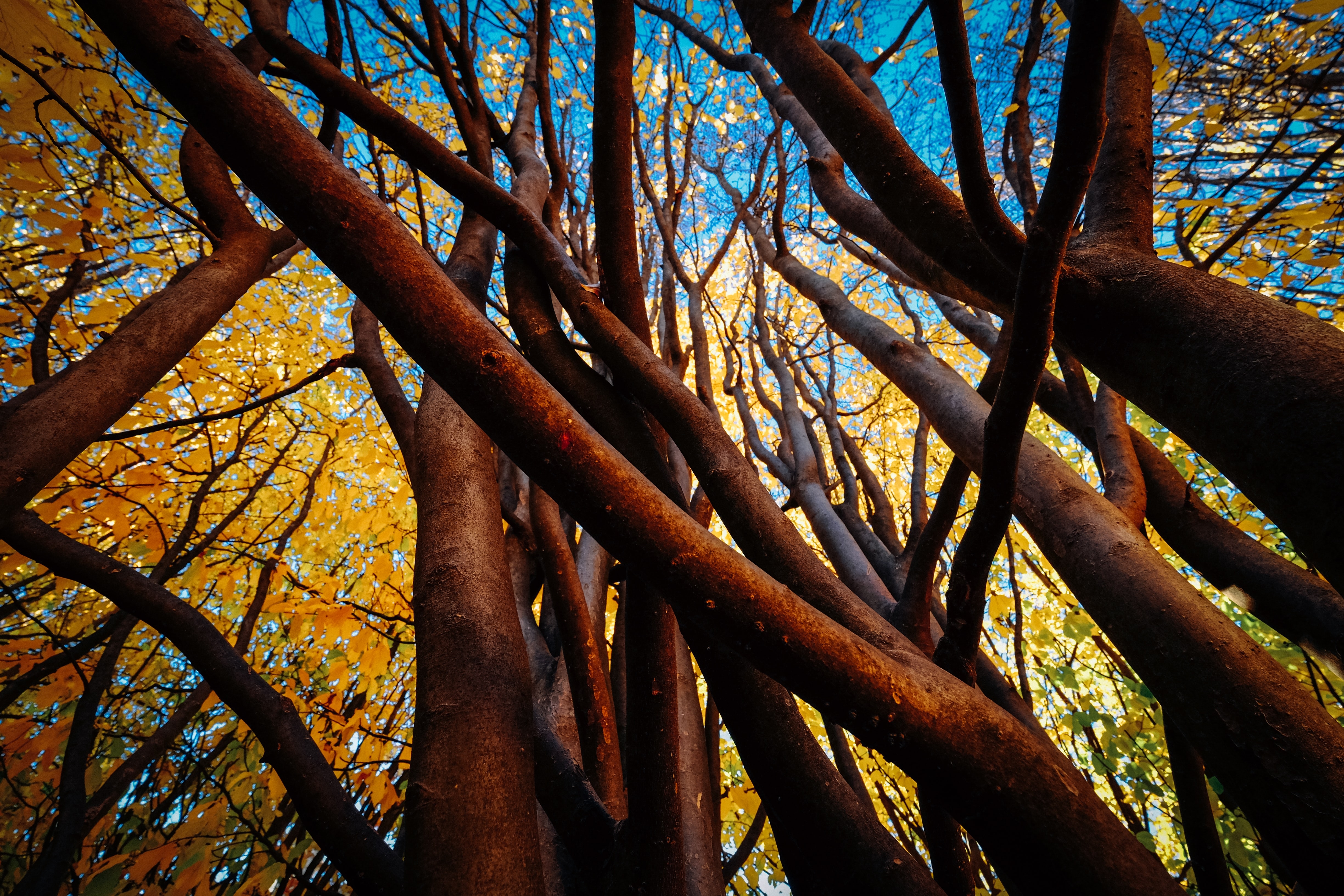 worm's eye view of brown and yellow trees